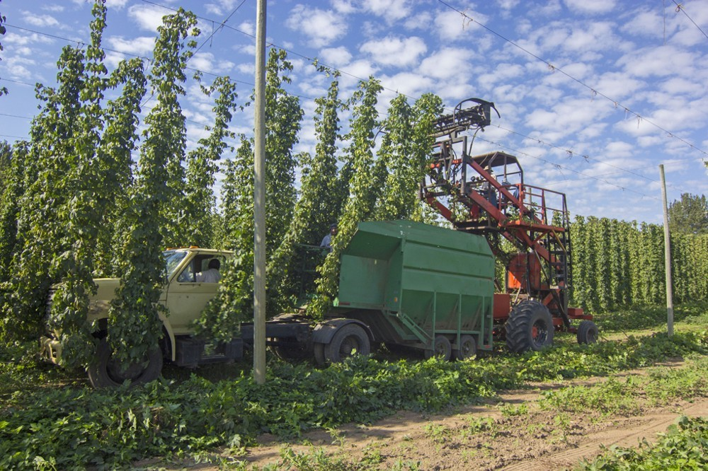 The hop harvest at Rogue Farms in Independence, Oregon.