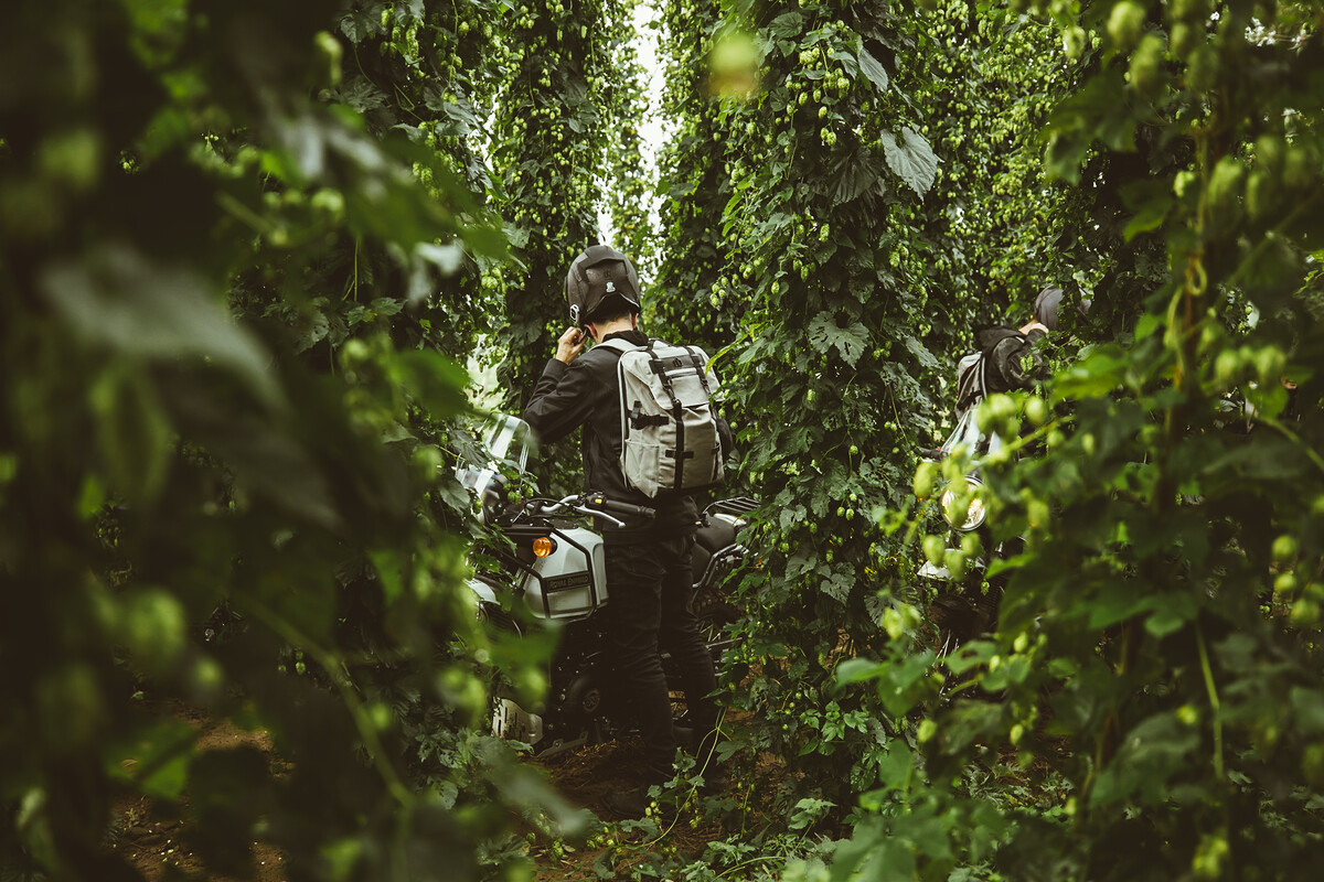 A rider stands in the Mosaic Hop bines at Rogue Farms in Independence, Oregon.