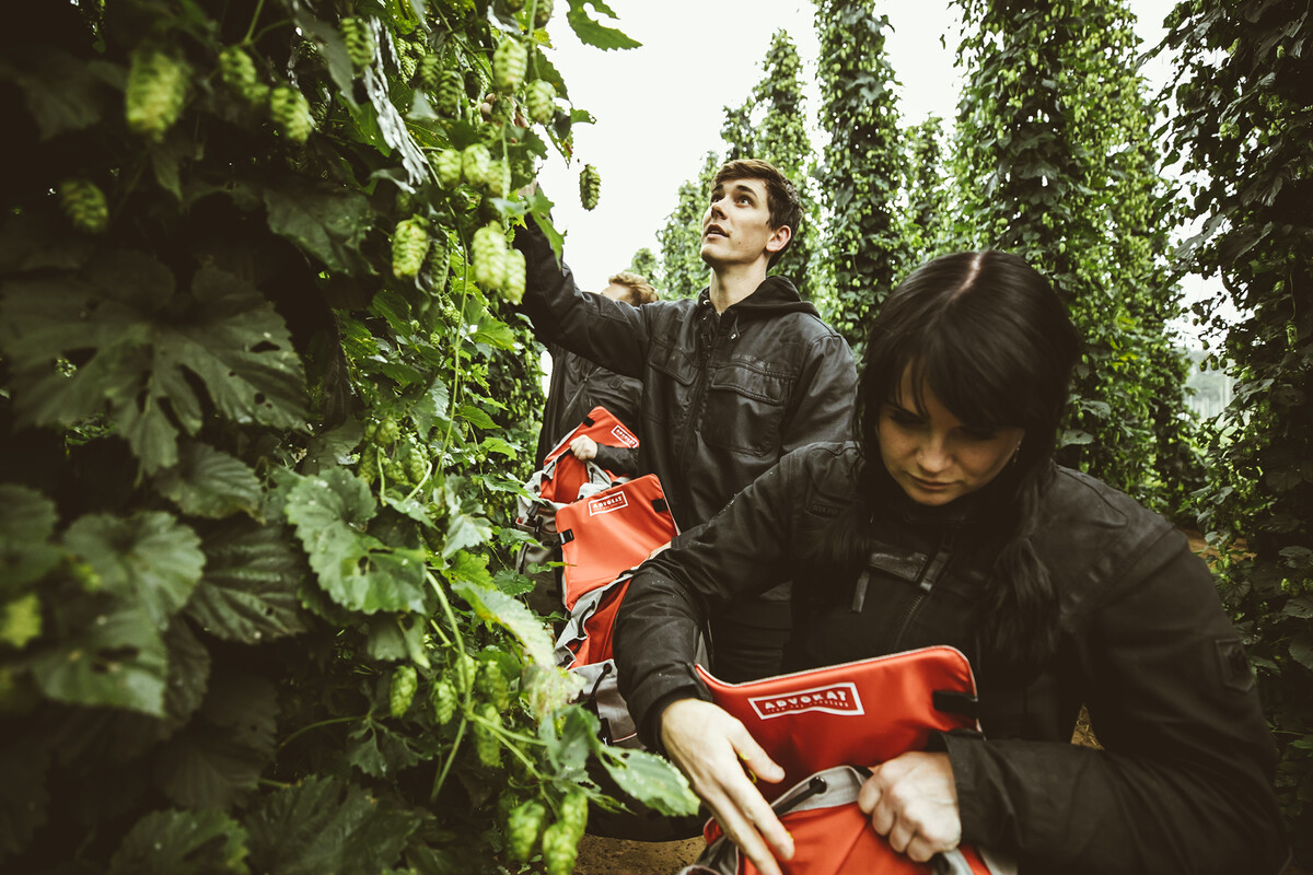 Three riders pick Mosaic Hops and fill their back packs at Rogue Farms in Independence, Oregon.