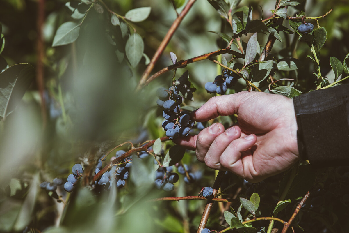 One of the riders picks blueberries for the hazy IPA they'll brew at Rogue World Headquarters.