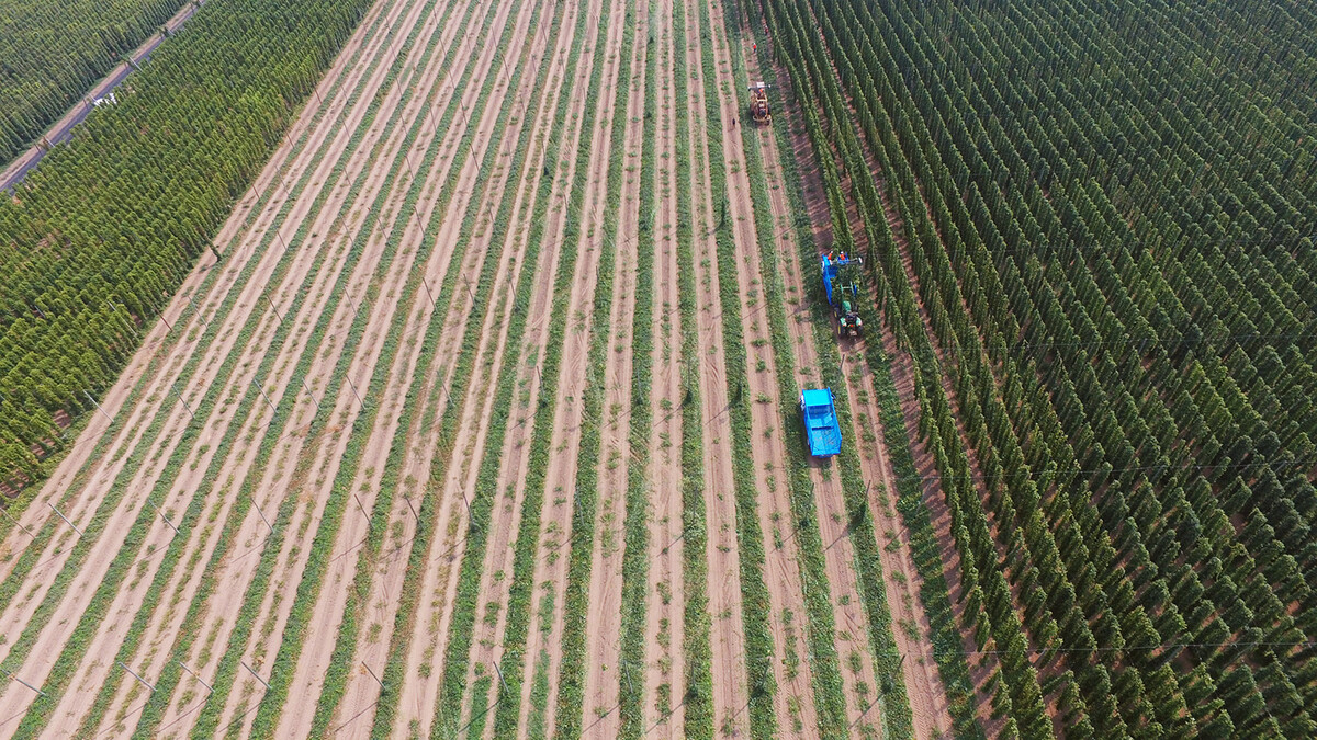 Overhead shot of hop harvest at Rogue Farms in Independence, Ore.