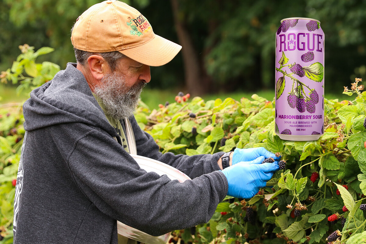 Rogue Brewmaster John Maier picking ripe marionberries. We'll be brewing Marionberry Sour with those marionberries later this year.