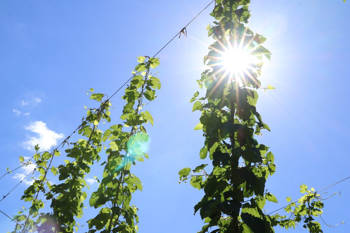 During peak growing season, hops can grow 12 inches a day.