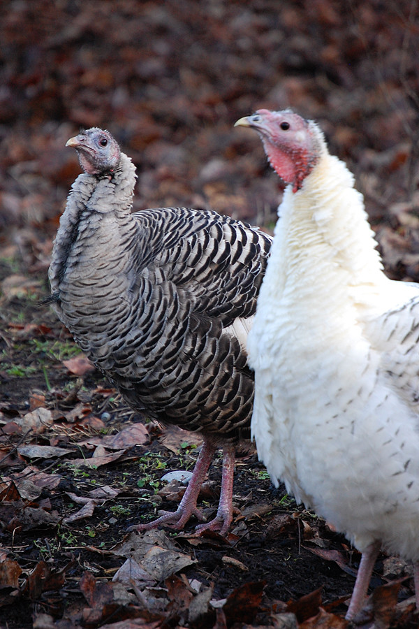 The new turkey with one of his siblings. Notice the family resemblance?