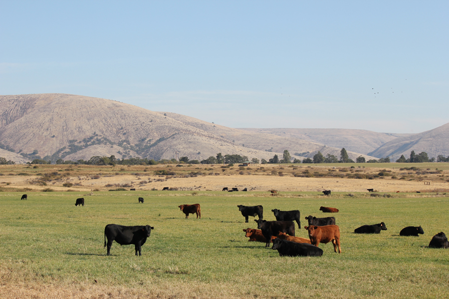 We also raise cattle at the Rogue Ales Barley Farm. That's Tygh Ridge in the background. It lies north of the farm and protects it from the winter wind storms of the Gorge.