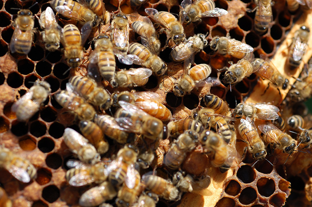 Step Four: The worker bees nibble away at a sugar plug that blocks the entrance to the cage. It takes a few days for the bees to eat their way through. This gives them time to adapt to the new queen.