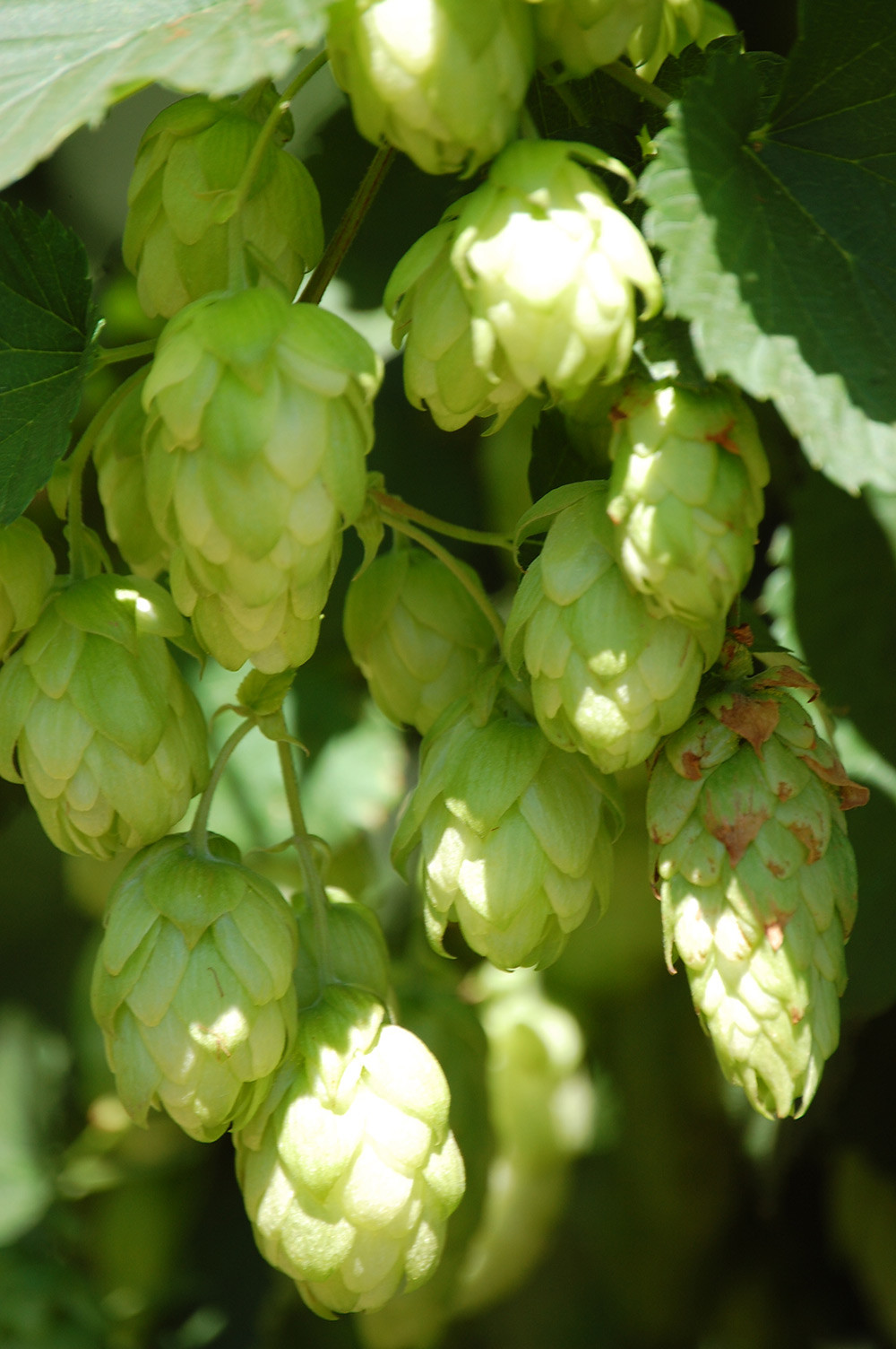 The hop cones are soaking in the warm weather and getting bigger every day.
