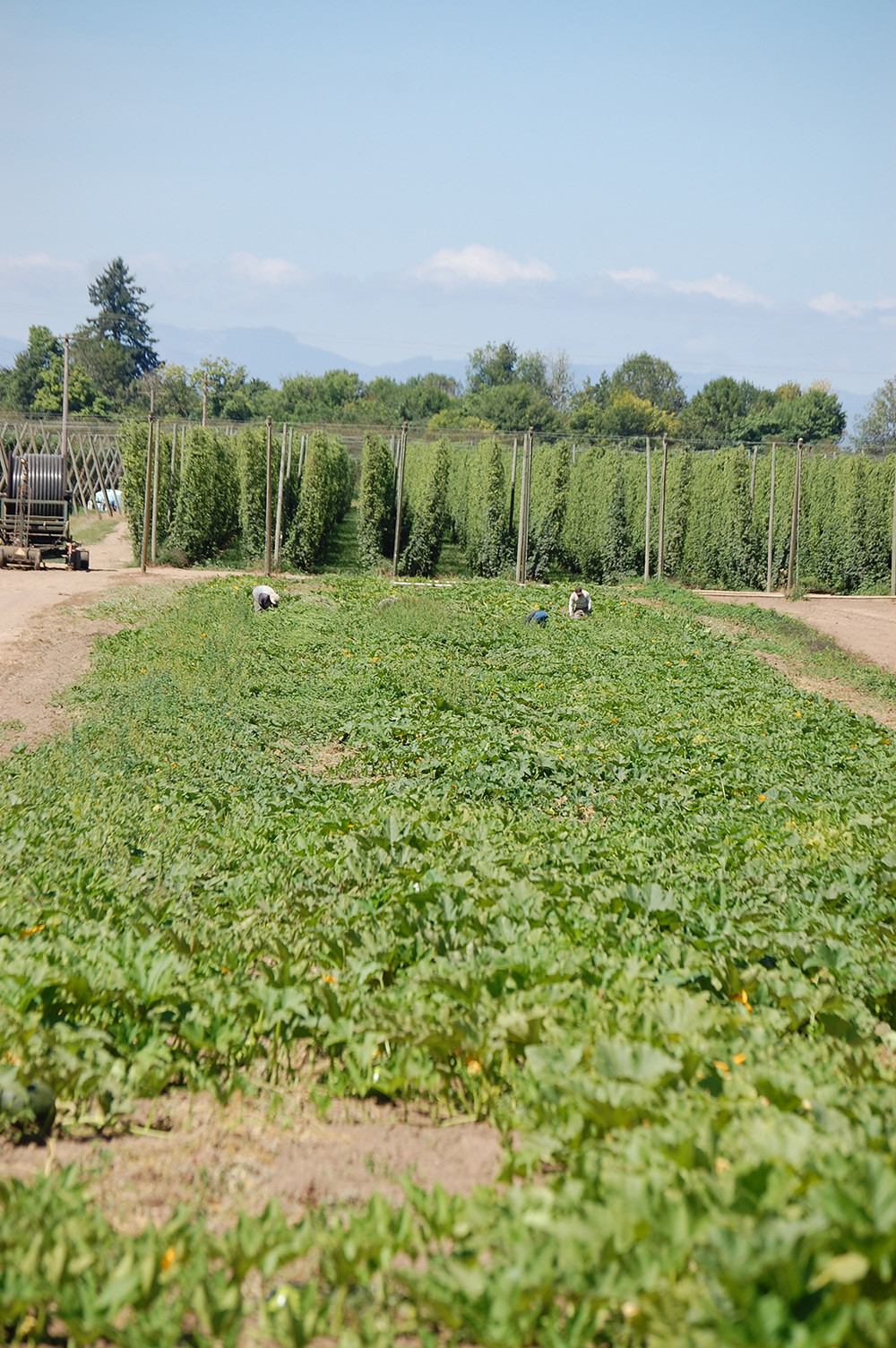 Our Pumpkin Patch, nestled against our growing aroma hops.
