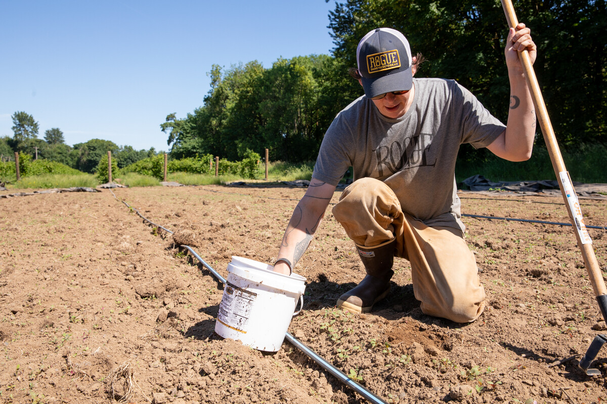 Michael King takes handfuls of pumpkin seeds from a bucket to plant into the ground at Rogue Farms.