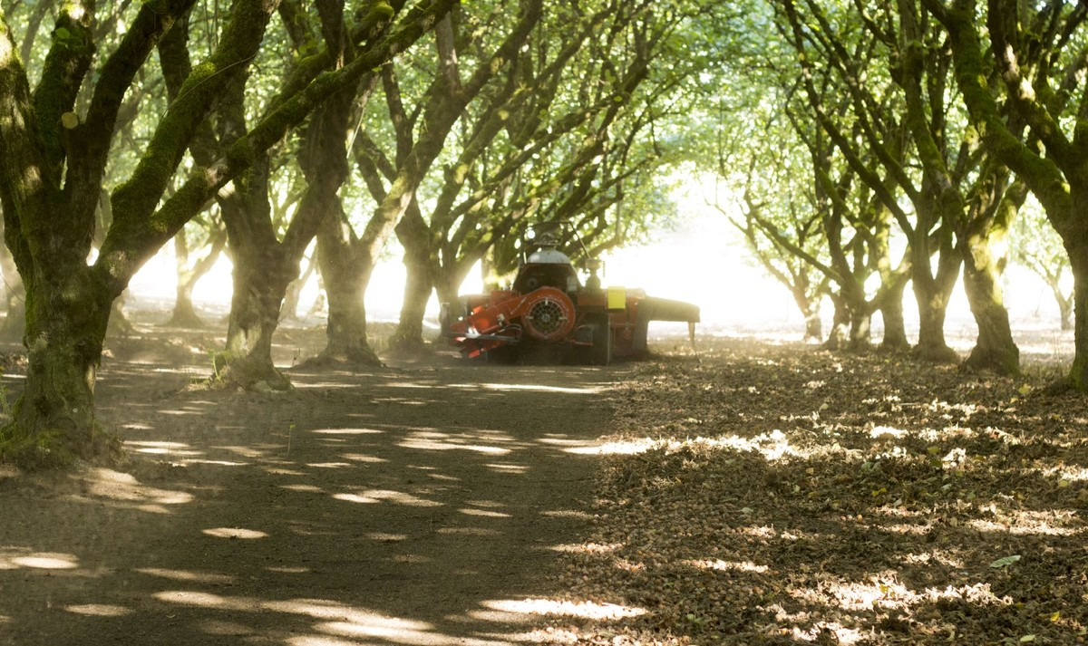 The sweeper lines up fallen hazelnuts for the harvesters that will follow.