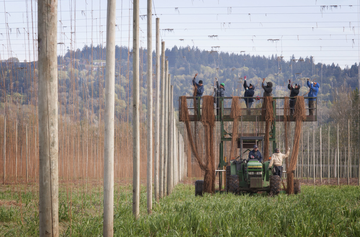 Rogue Farmers working to string up the hops.